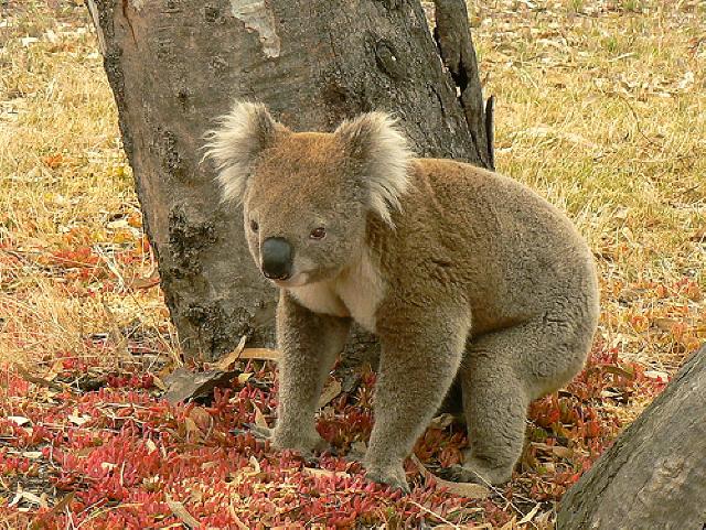 Raymond Island Gippsland Lakes for Koala Spotting Picnics